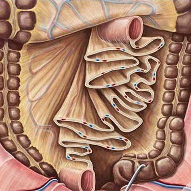 mesentery, organ, anatomy, human
